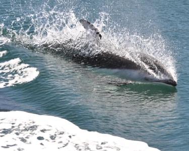 Rota dos Golfinhos de Barco | 2 Pessoas| CaparicaDiving