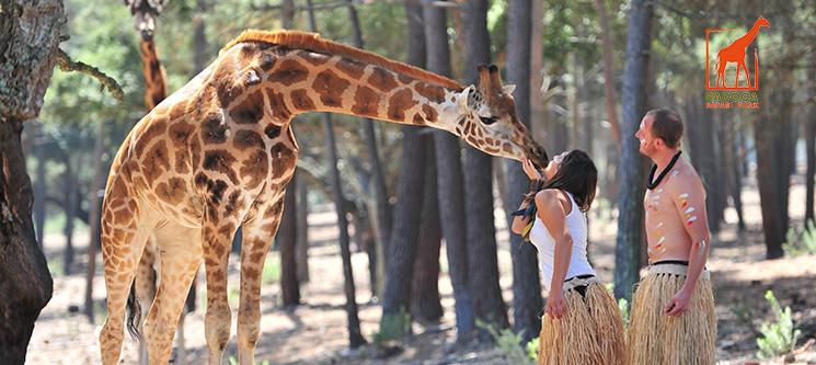 Interacção e Alimentação das Girafas do Badoca Safari Park | Visita em Jipe Privado!