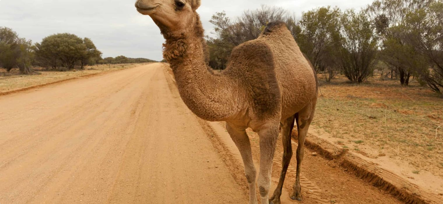 Camels of the Australian Outback