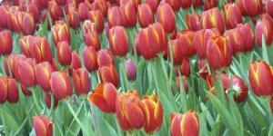 Dutch tuilp tour Netherlands