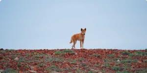 Dingo, Oodnadatta Track