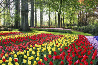 Holland tulips and hyacinths