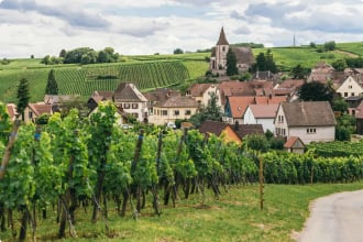 Grapes grows in rows in the fields of Burgundy