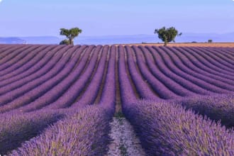Lavender Field, Valensole Provence, France