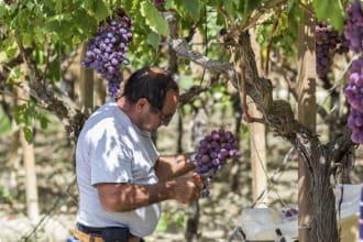 Grape Harvest Italy Western Mediterranean