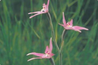 Pink fairies orchid (Caladenia latifolia)