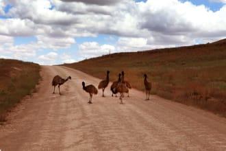 Emus, Wilpena Pound Resort