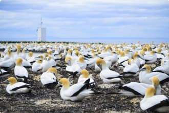 Gannet colony at Cape Kidnappers, Hawkes Bay