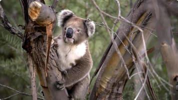 Koala in a tree on Kangaroo Island