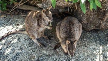 yellow footed rock wallaby joeys