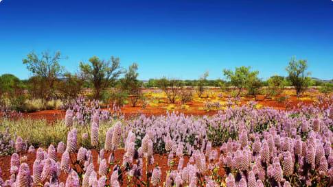 Pilbara wildflowers WA