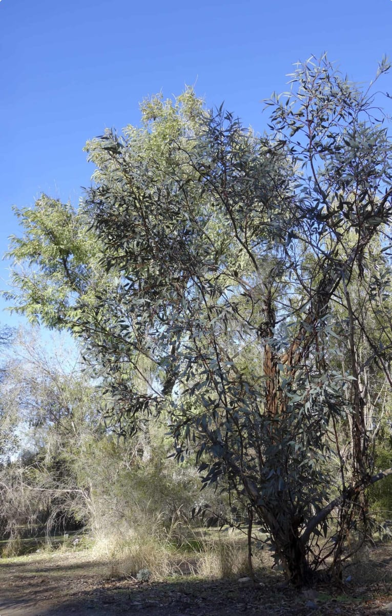 Mallee - eucalypt