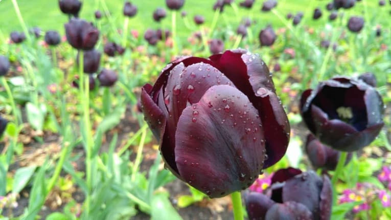 The sought-after black tulip