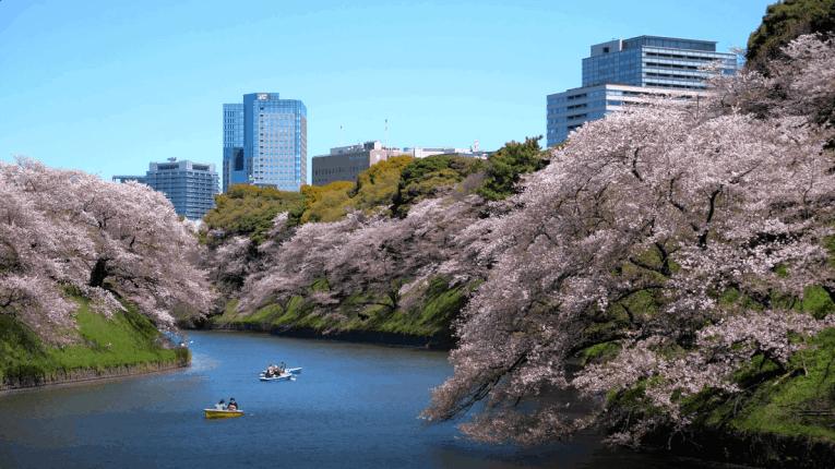 Hanami - Japan Cherry blossoms