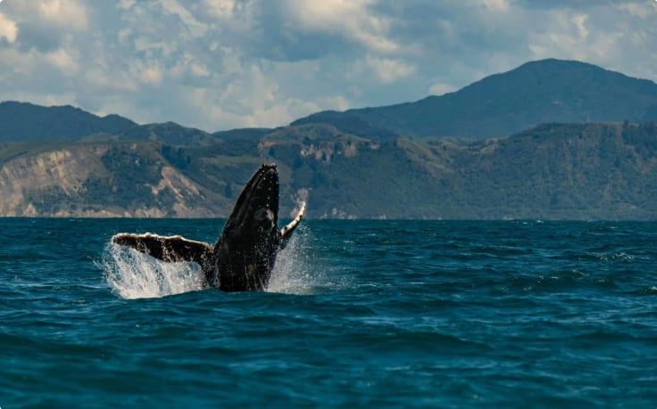 Humpback whale off the coast of Kaikoura.
