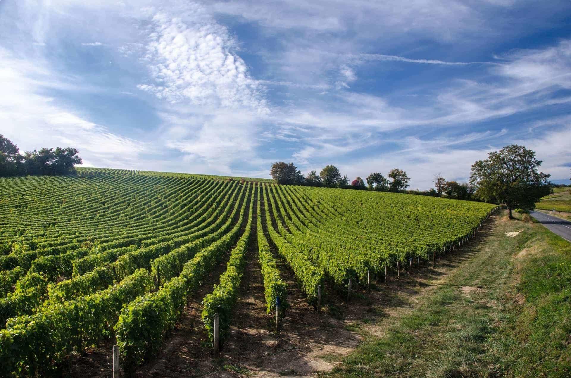 Vineyard in Loire Valley