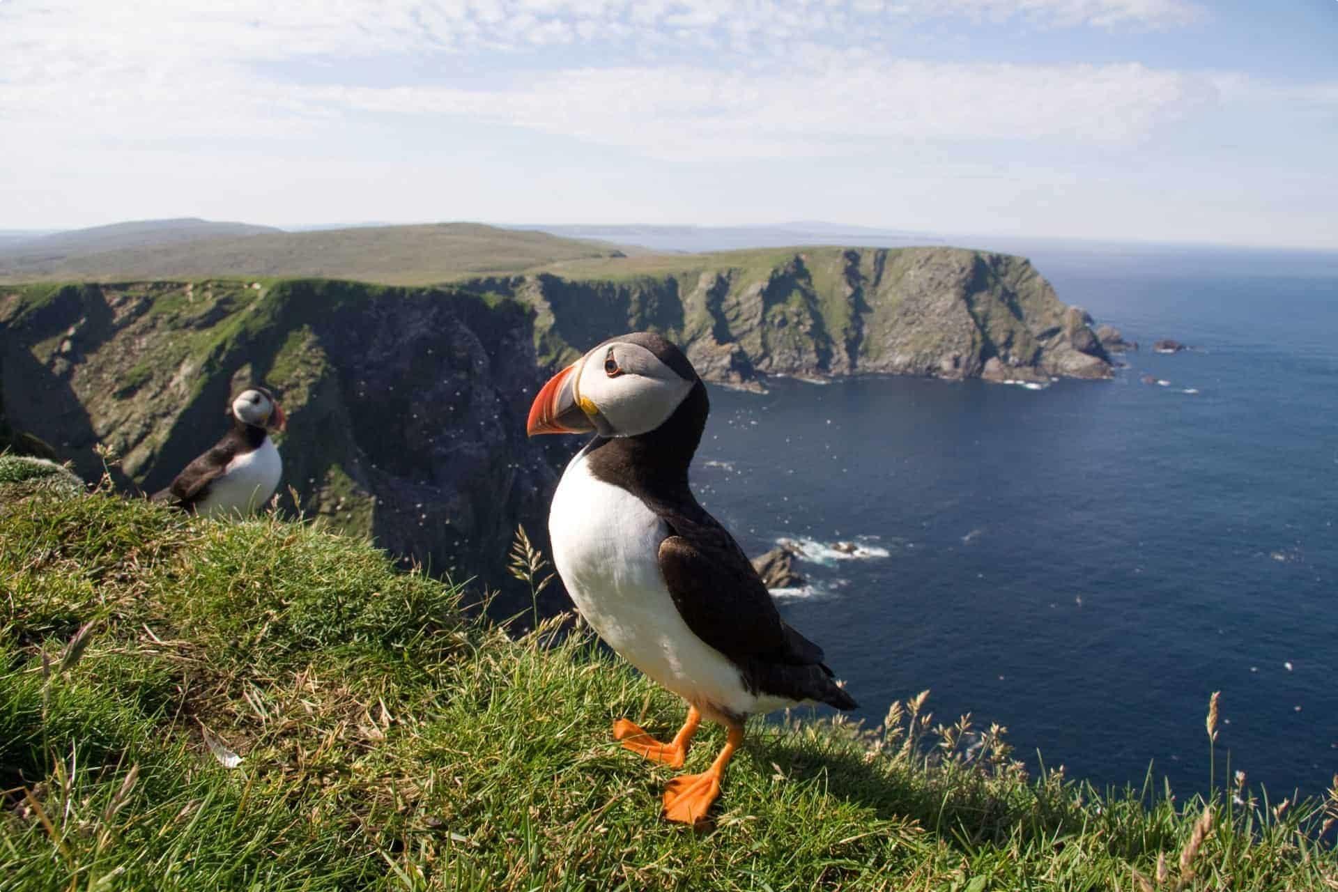 Puffin, Shetland Islands, Scotland