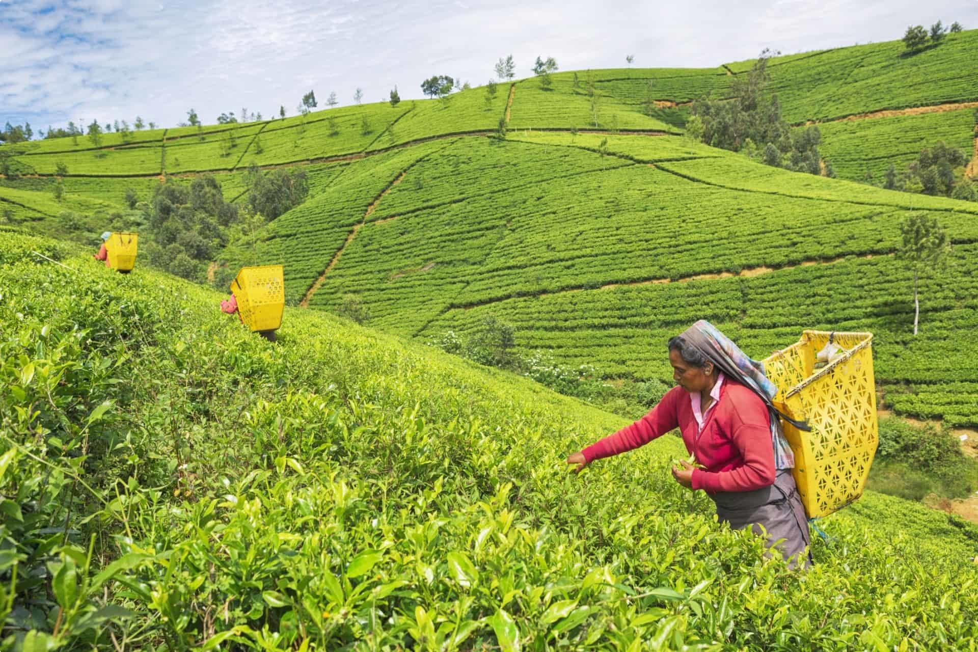 Workers at a tea plantation in Nuwara Eliya