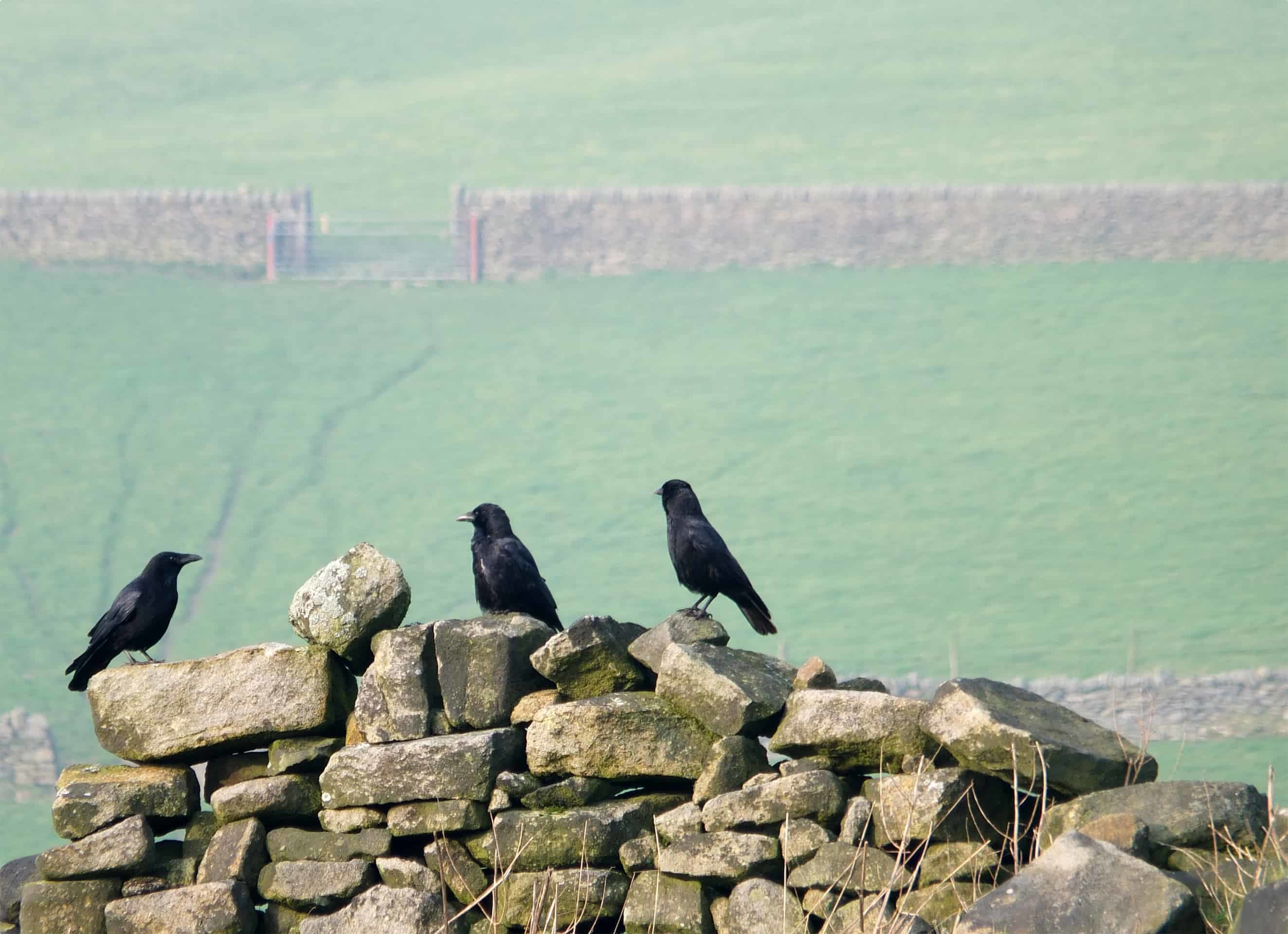 Local Birds on a Dry Stone Wall, Yorkshire Dales