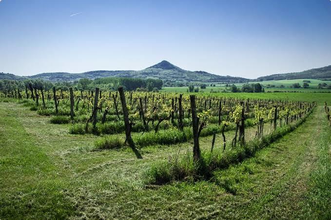 A Hungarian Vineyard