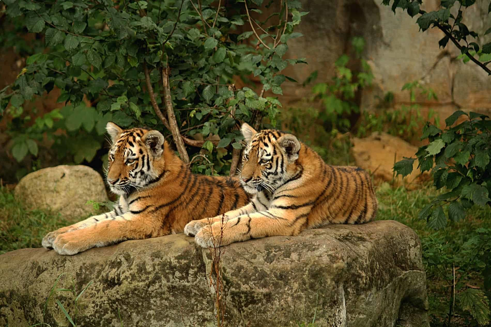 Two tigers relax at Leipzig Zoo