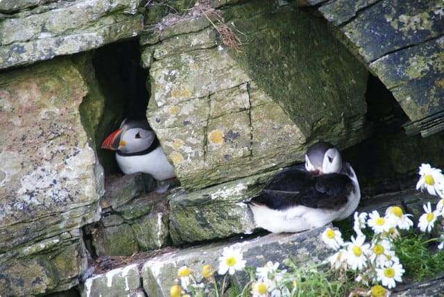 Puffins nestle into the cliffs near the Castle o' Burrian