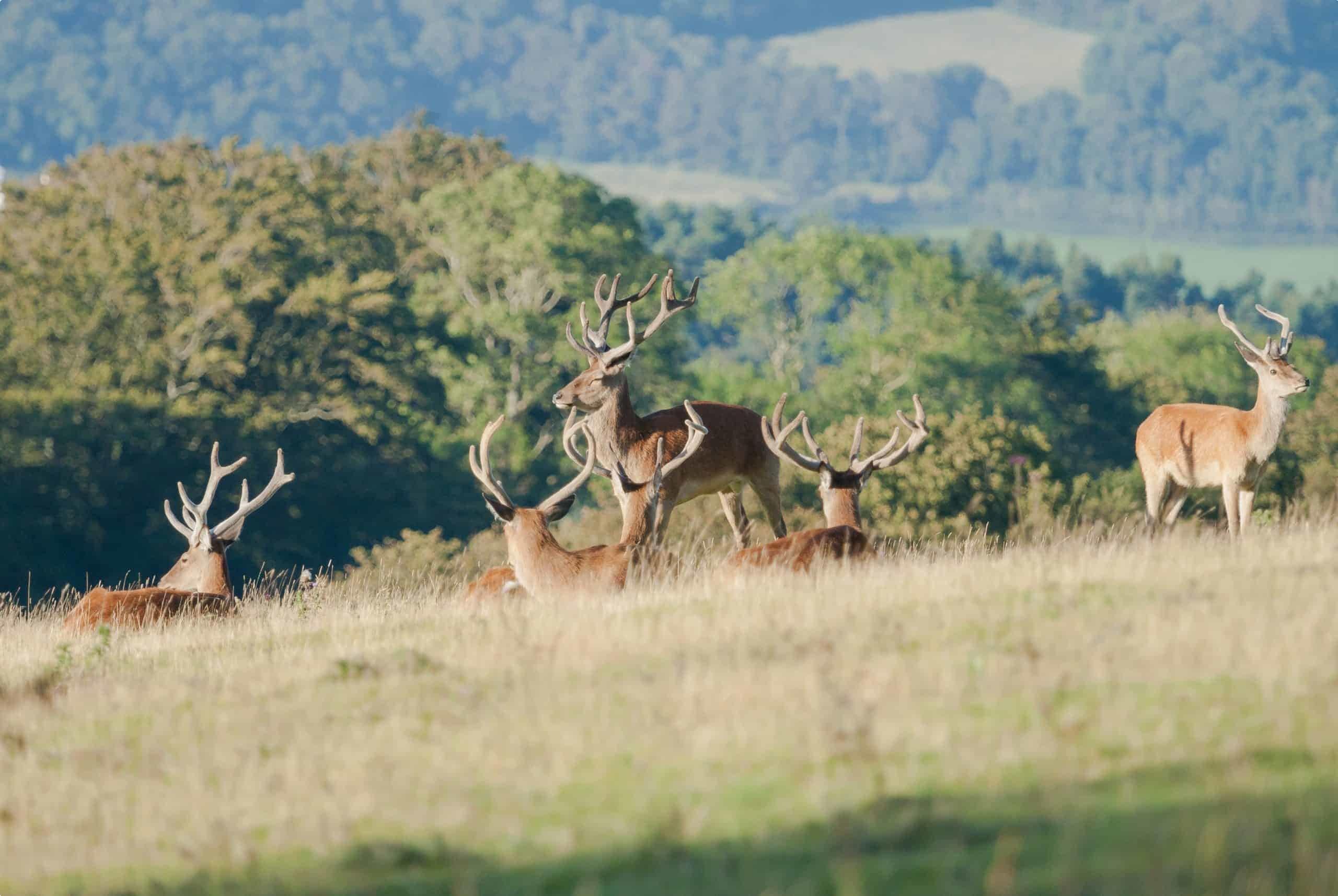 Exmoor - red deer