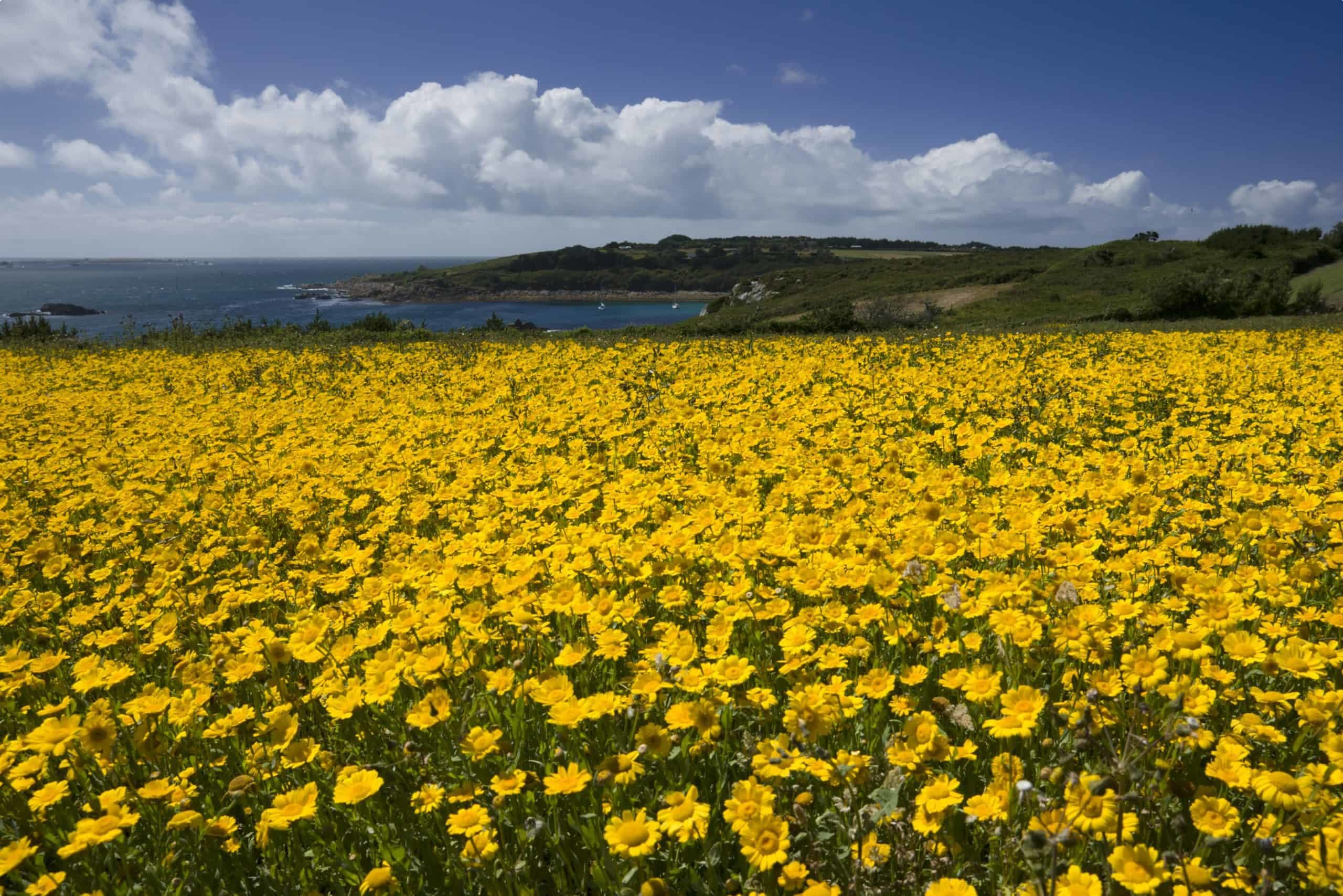 Scilly flora