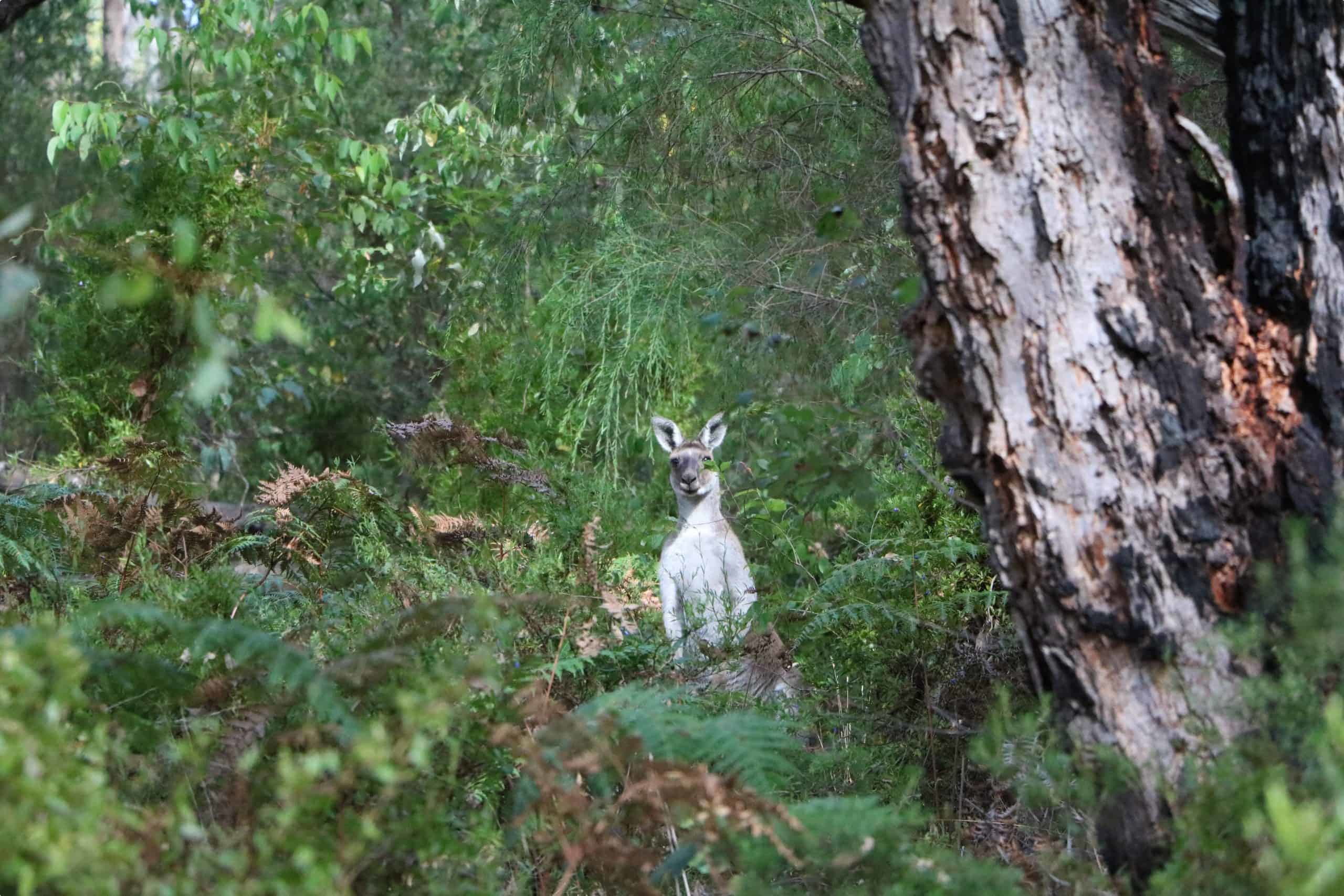 Kangaroos - Porongurup National Park