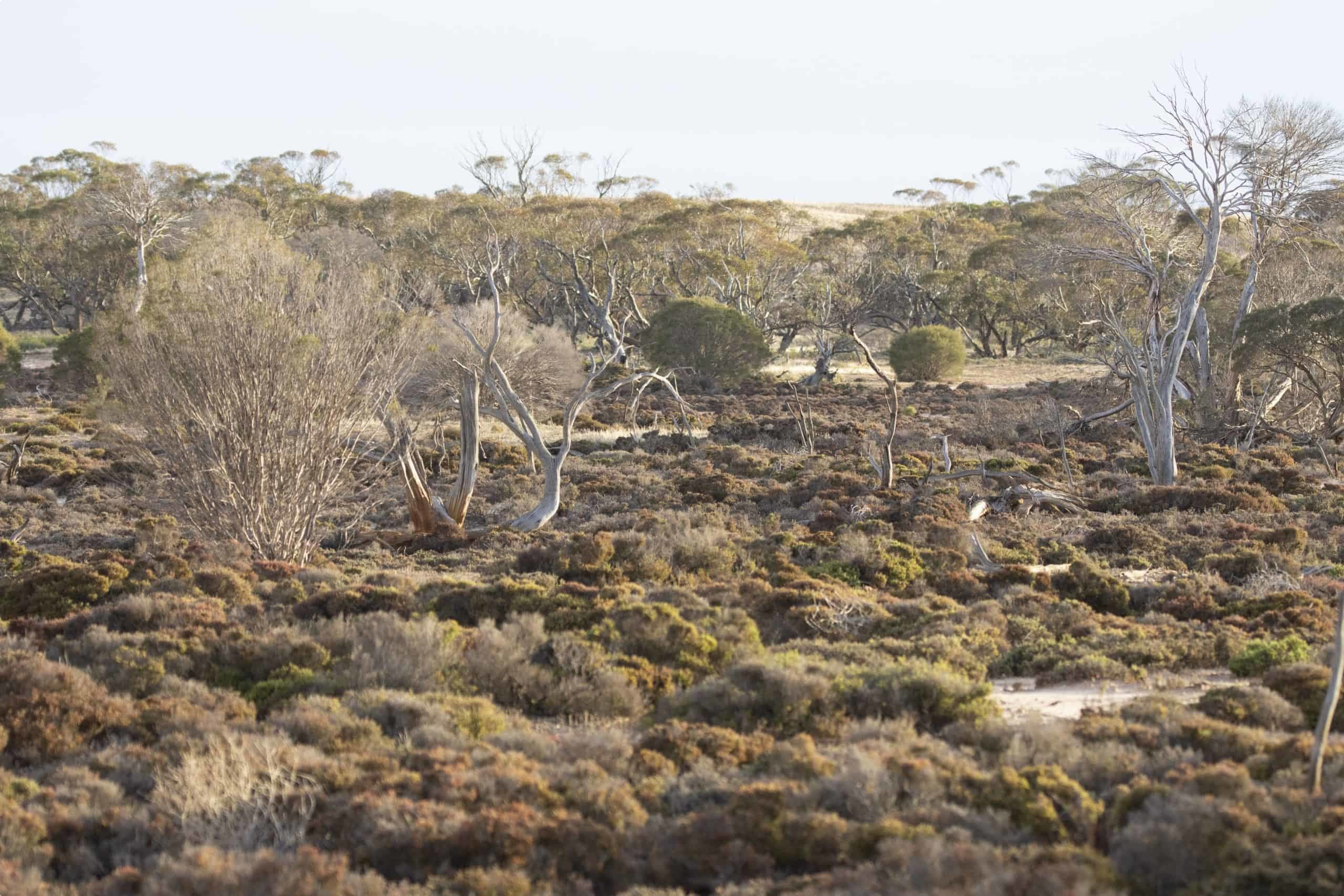 Mallee landscape