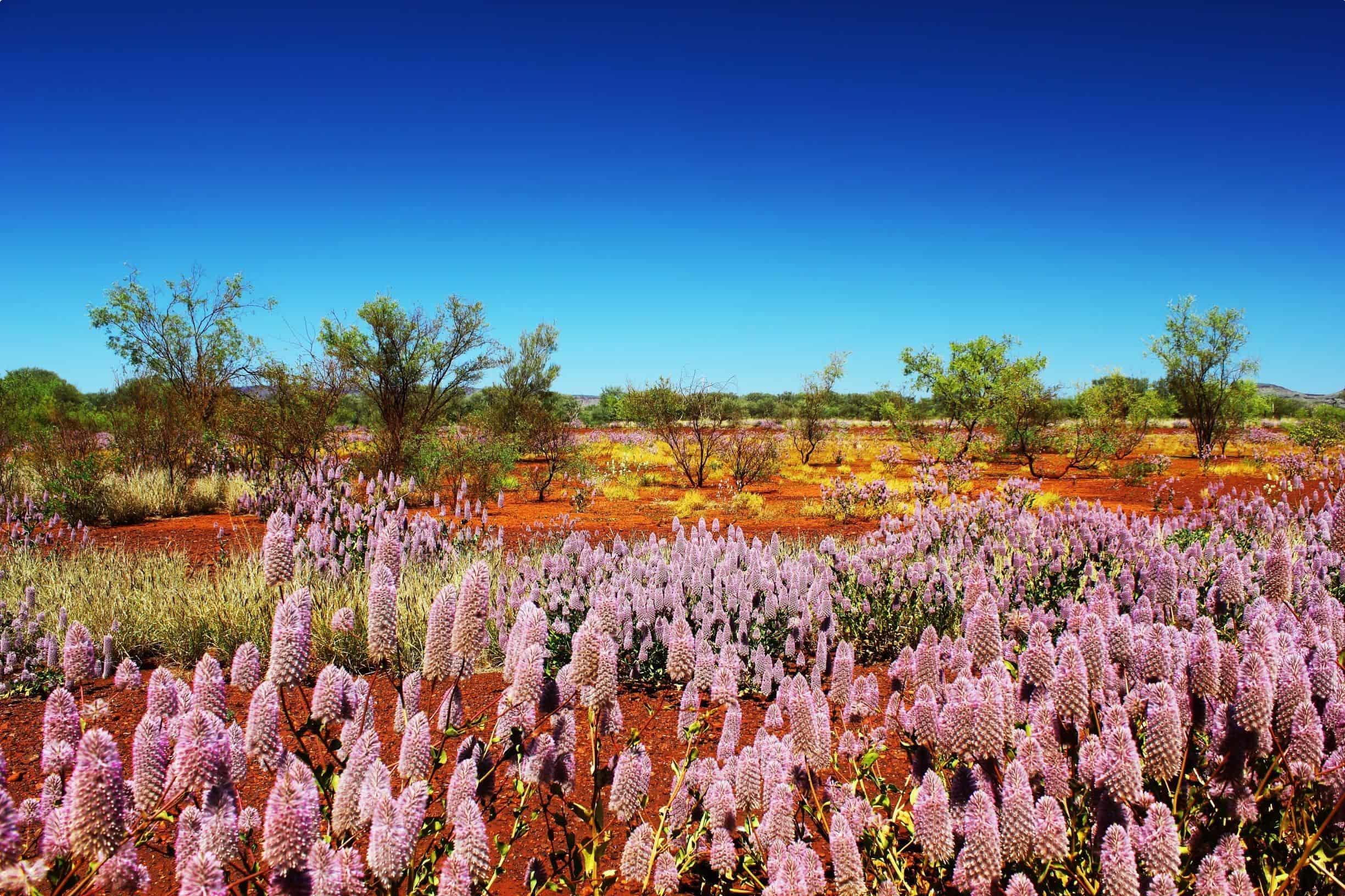 Pilbara wildflowers