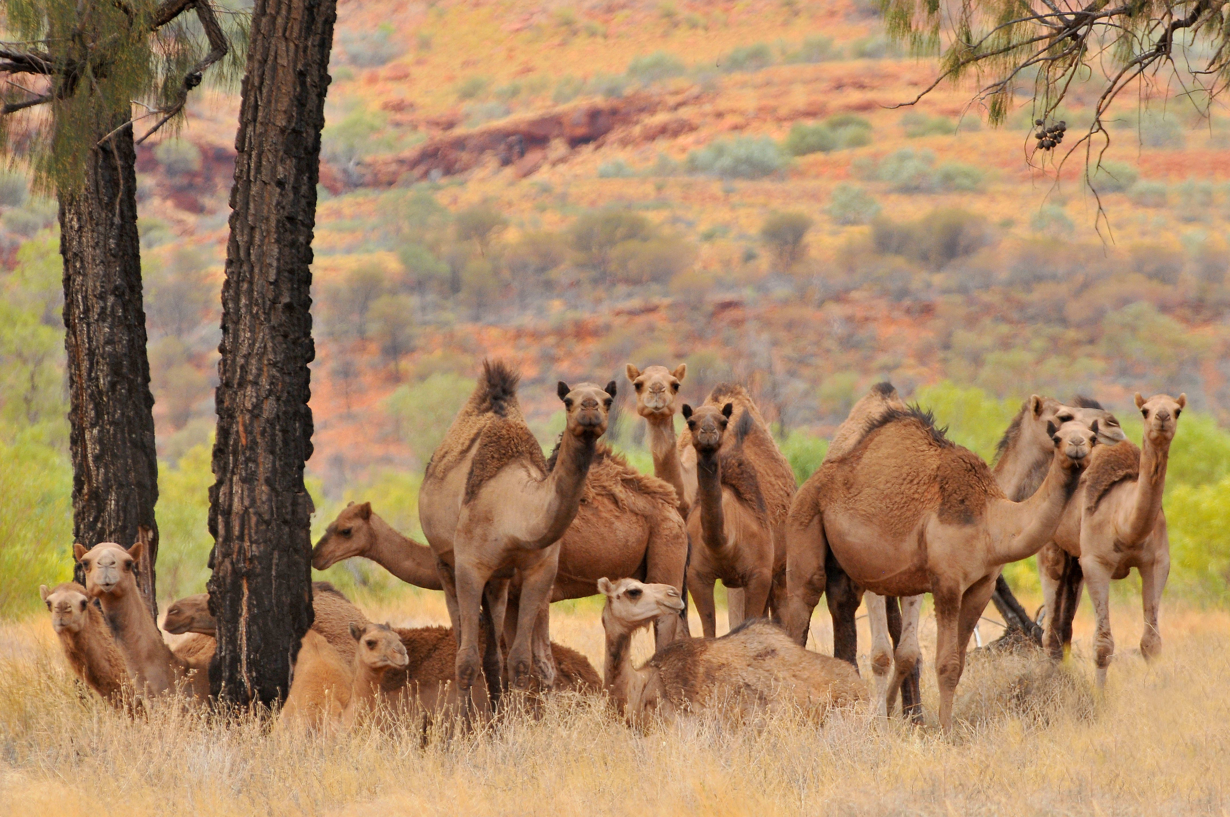 camels in the Australian Outback