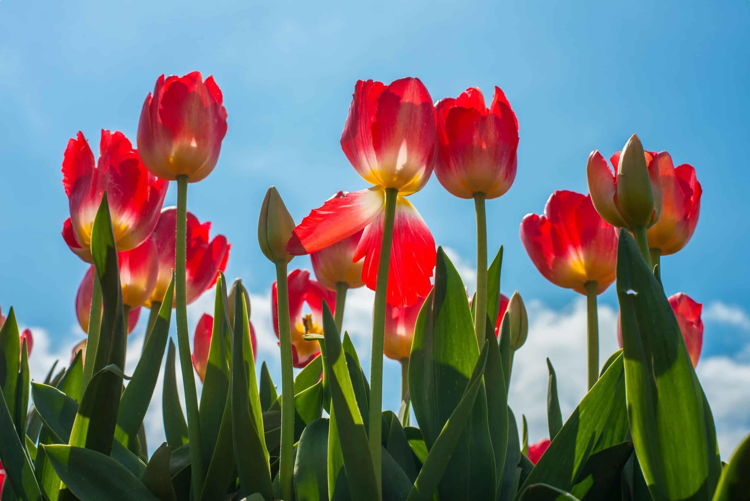 Australian tulips