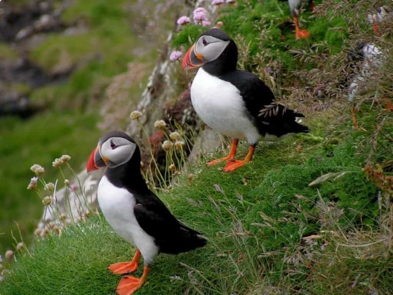 Puffins, Scottish isles