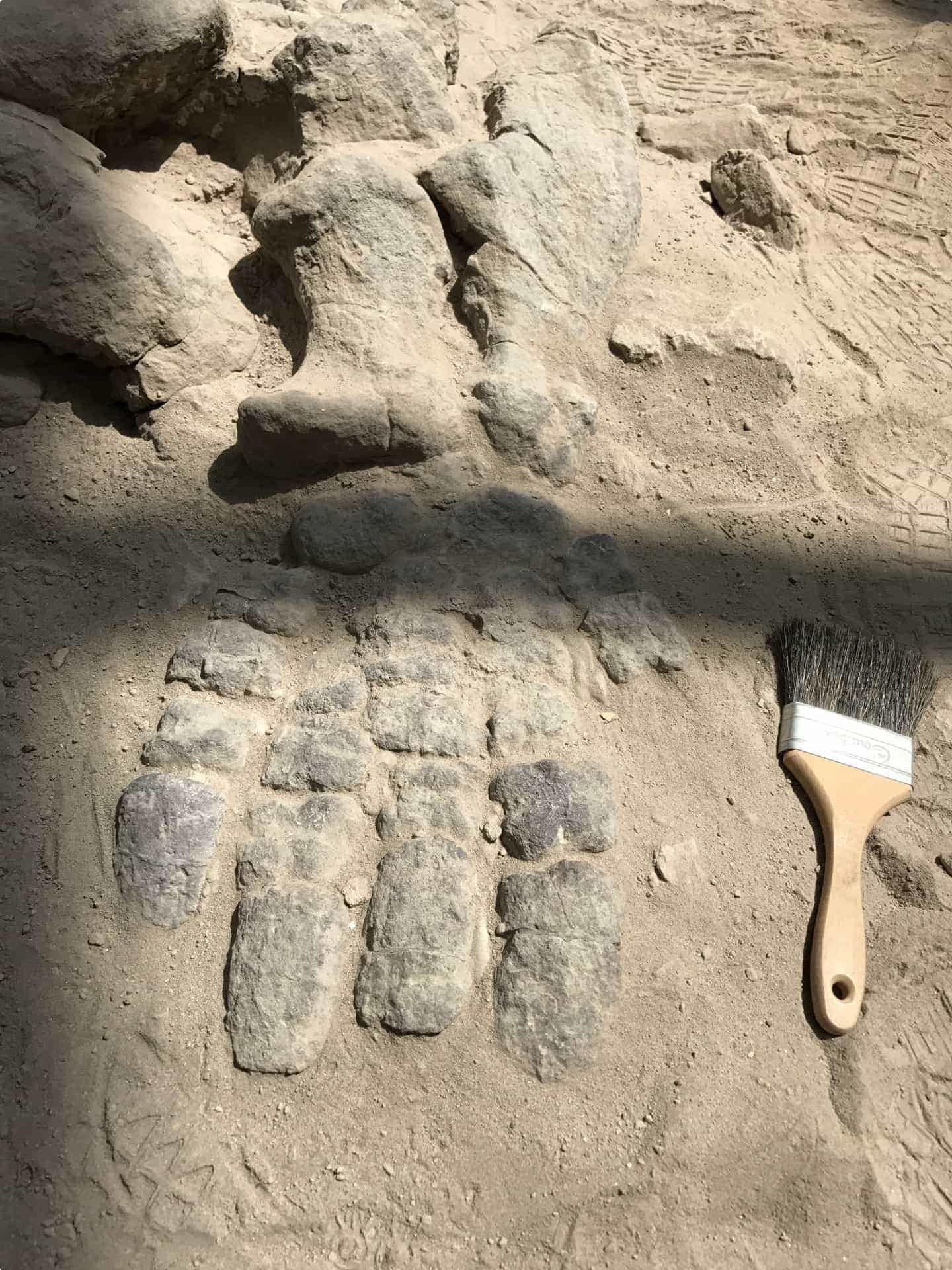 Foot of a mammal-like reptile: Ischigualastia
