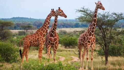 Giraffe among savanna in Africa -