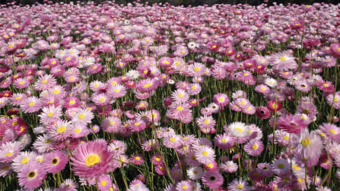 Field of Rosy Everlasting wildflowers growing in Western Australia.