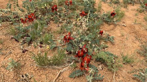 Sturt's Desert pea