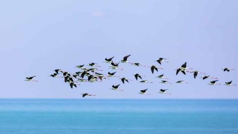 Black Necked Stilt Birds