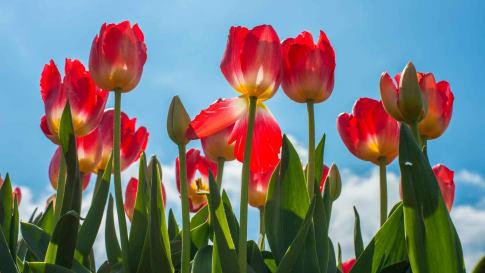 Highlights of Australia: Dutch tulips of Table Cape, Tasmania