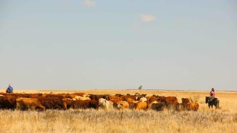 Australian Outback Cattle King
