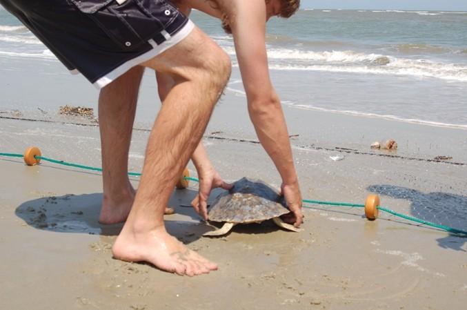 Kemp Ridley Turtle