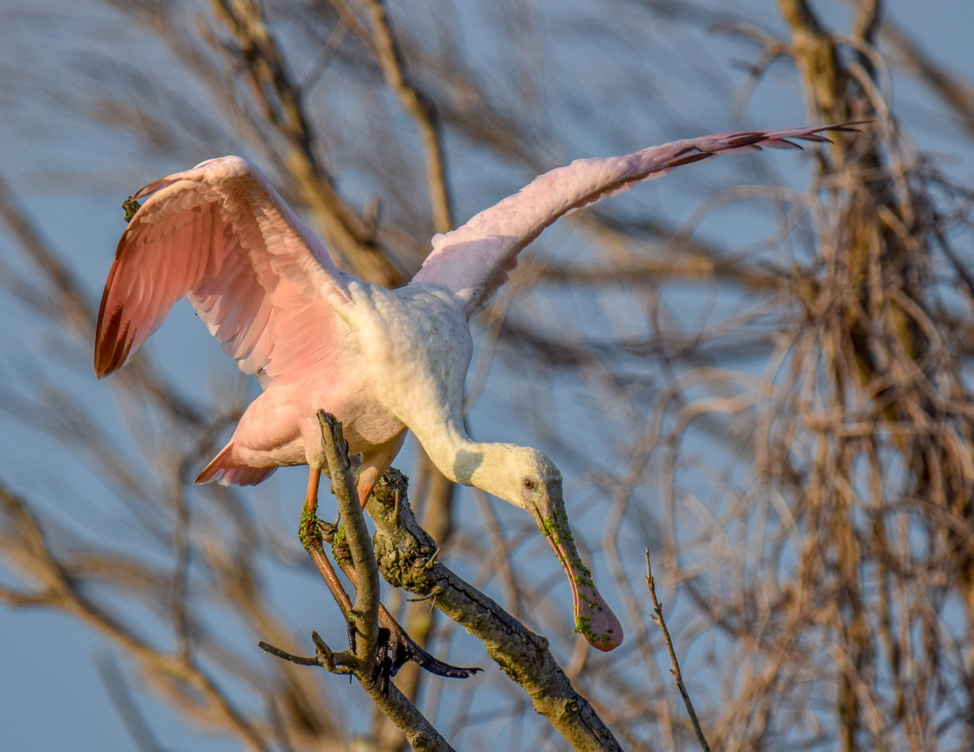 Spoonbill in Tree, Photo by Phil Murdaco.
