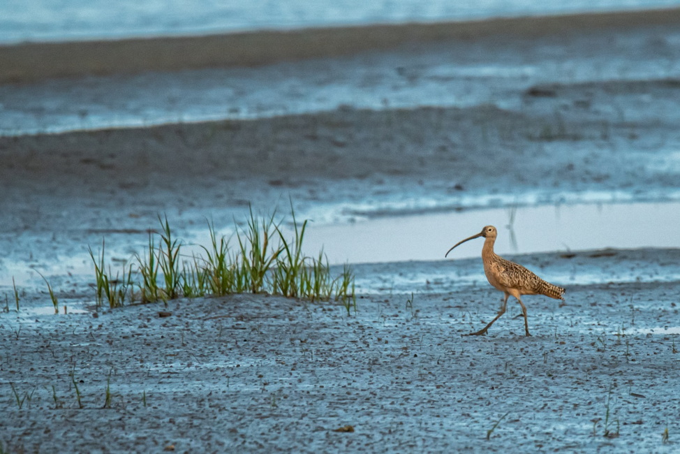 Whimsical Whimbrel, Photo by Phil Murdaco.