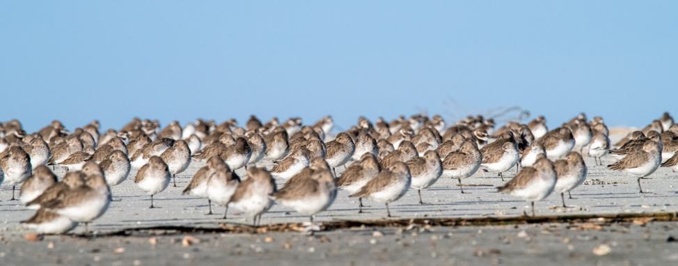 Photo by Phil Murdaco. Mixed flock: Dunlin, Western Sandpiper, and Wilson's Plover.