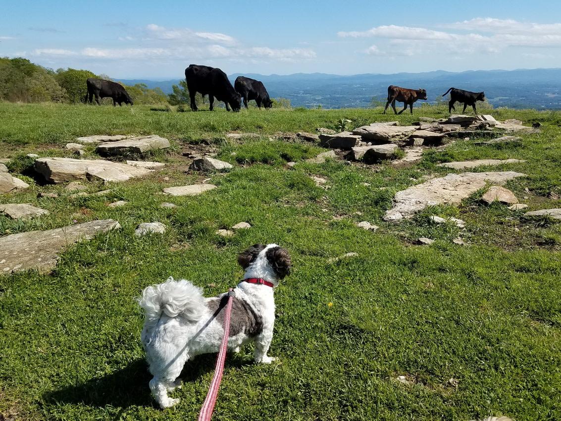 Bearwallow Mountain cows