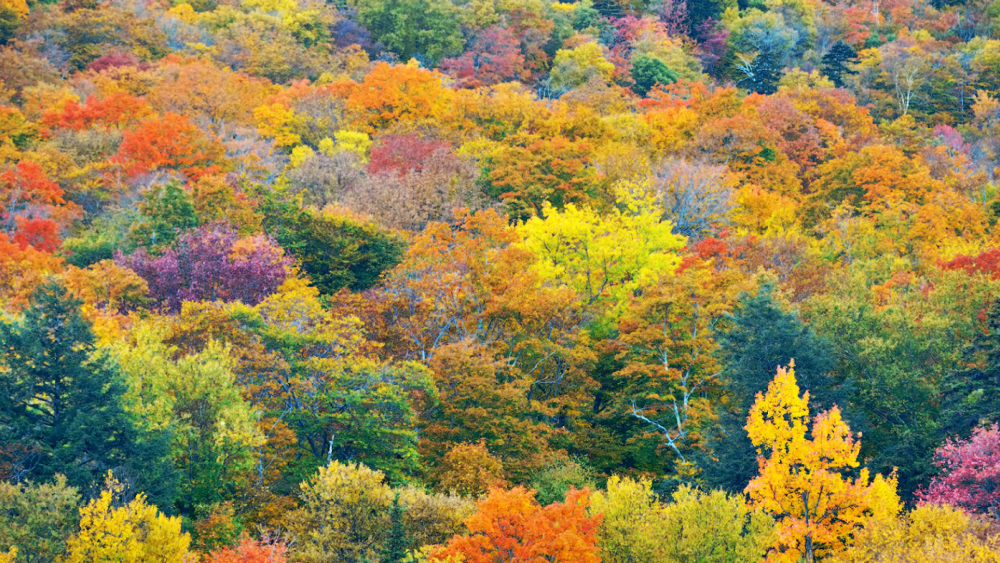 Fall Foliage near Heart of the Village Inn Bed and Breakfast in Shelburne VT