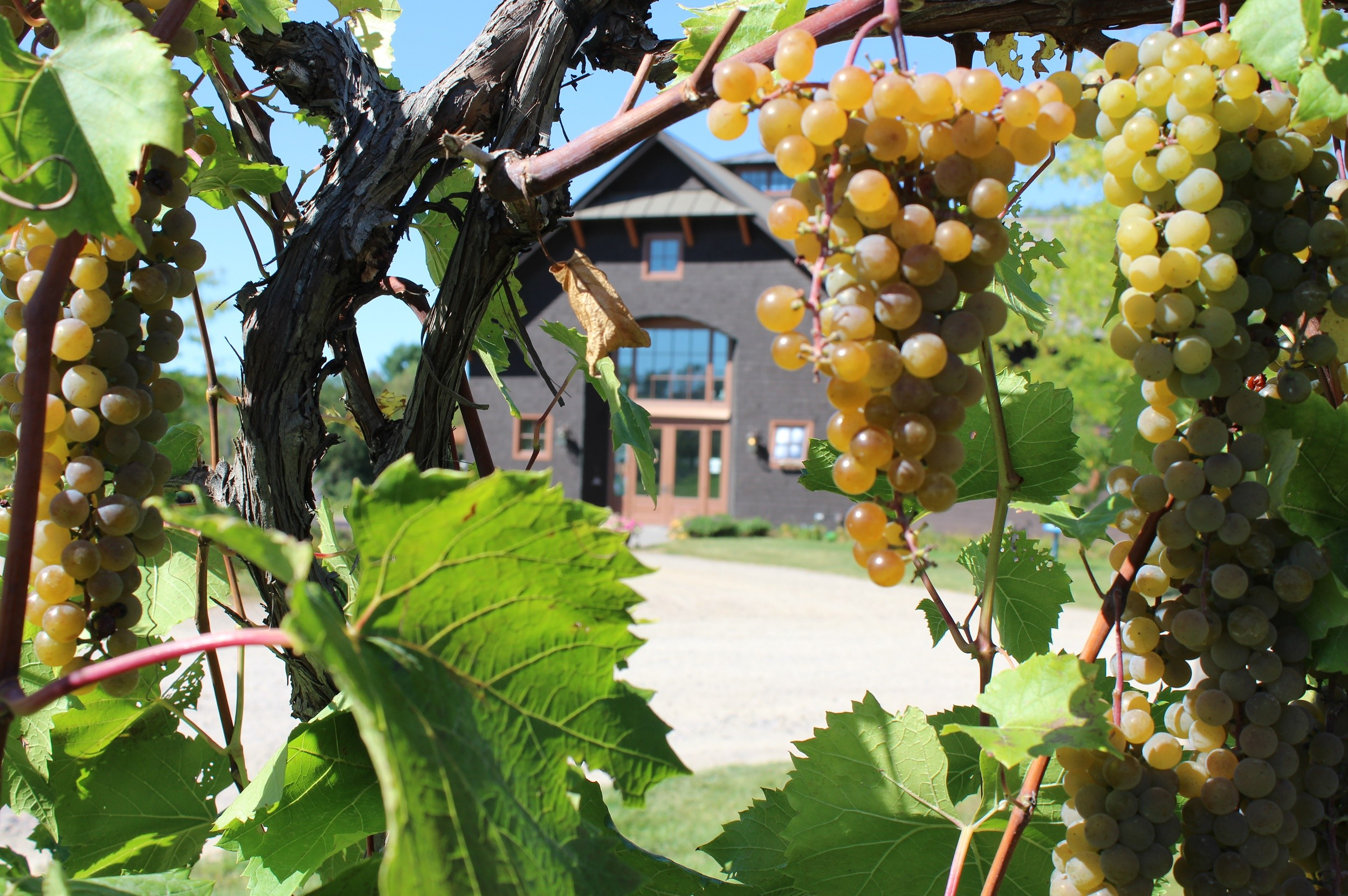 Shelburne Vineyard Grapevine View