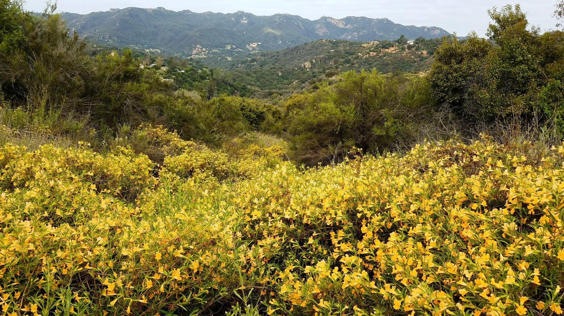 Photo from Musch Trail of wild flowers in Topanga