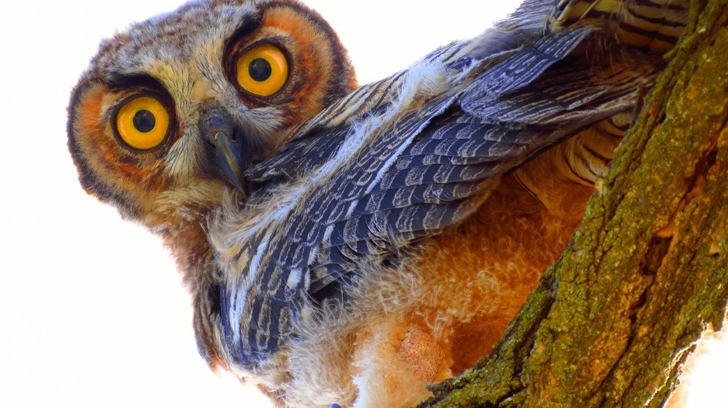 A photo of a young flagellin owl